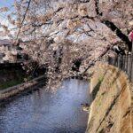 弘明寺 桜 満開